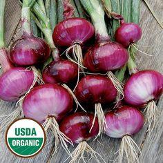 Red Wethersfield Organic Onion - Seed Savers Exchange