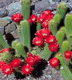 Flowering Cactus - Succulents - FLOWERS BEYOND EXPECTED when the Desert Blooms. full of Life above ground and below the cracks of dirt despite having so little Living Water. Exotic Plants, Exotic Flowers, Beautiful Flowers, Yellow Flowers, Cactus E Suculentas, Cactus Planta, Cactus Cactus, Cacti And Succulents, Planting Succulents