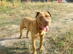 Psy i szczenięta – Grodzisk Mazowiecki Pitbulls, Dogs, Animals, Pit Bulls, Animaux, Doggies, Animales, Pitt Bulls, Pit Bull Terriers