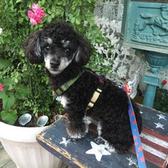 Poodle Silver Phantom The Marie in Itaewon, Antique Street Phantom Poodle, Poodles, Yorkie, Doggies, Fur Babies, Cute Pictures, Cute Animals, Snoopy, Toy