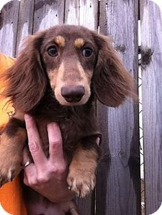 Adopt a Pet :: Baxter--HE'S IN NEW HAMPSHIRE! - Southern, NH - Dachshund
