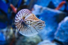 The nautilus represents the only living member of the subclass Nautiloidea. The nautiluses are cephalopods that retain an outer shell unlike other distantly related animals such as squid and octopus.  Their beautiful shells have inspired many artists over the centuries, and they are also among the finest natural examples of a logarithmic spiral.  Because of their shells, the fossils of nautiluses are easier to come by than remains of other cephalopods, and fossil hunters have discovered…
