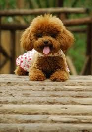 """Determine even more relevant information on """"french poodle puppies"""". Teacup Puppies, Cute Puppies, Dogs And Puppies, Poodle Puppies, Baby Animals, Cute Animals, Poodle Haircut, Red Poodles, French Poodles"""