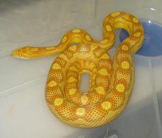 Corn snake - hurricane morph. This one is a hurricane butter morph