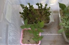 Growing The Home Garden: Gardening in the Home Landscape: Home Plant Propagation Chamber - As Simple As it Gets!