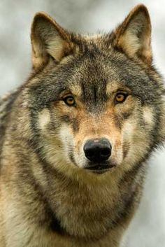 Find american stock images in HD and millions of other royalty-free stock photos, illustrations and vectors in the Shutterstock collection. Wolf Photos, Wolf Pictures, Wolf Images, Beautiful Wolves, Animals Beautiful, North American Wolf, Tier Wolf, Wolf World, Alpha Wolf