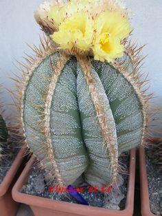 astrophytum ornatum x ornatum f. mirbelii