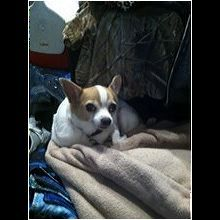 Florida Chihuahua Rescue Adoptions Rescue Me With Images