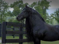 Os cavalos estão entre os animais mais belos do mundo. Majestosos e selvagens, é impossível não ficar encantados com o magnifico orgulho deles. Frederick The Great é um maravilhoso exemplar de frísio…