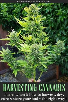Not sure best time to harvest? Come read along to learn all the best practices for harvesting, drying, curing, trimming, and storing your homegrown cannabis - so you can get the absolute best results from your growing efforts! Growing Weed, Growing Herbs, Growing Vegetables, Cannabis Edibles, Cannabis Plant, Marijuana Recipes, Weed Facts, Gardens, Nature