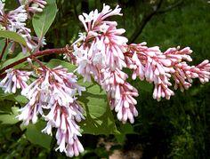 Syringa yunnanensis 'Rosea'