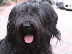 briard dog photo | Briard Photo Gallery – Pictures Of Briards! | Dog Picture Gallery
