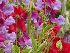 Berry Fruit Mix Sweet Pea by Dr Keith Hammett