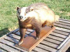 Badger Taxidermy // Vintage Taxidermy - pinned by pin4etsy.com