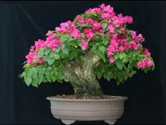 How to Grow Bougainvillea Bonsai tree Bougainvillea Bonsai, Flowering Bonsai Tree, Bonsai Tree Care, Bonsai Trees, Podocarpus Bonsai, Small Potted Plants, Indoor Bonsai, Planting Roses, Flower Gardening