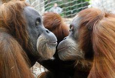 Orang-Utans schmusen in der Asien-Freilufthalle im Gelsenkirchener Zoo.