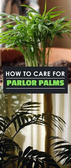 Parlor Palm Care How to Grow the Neanthe Bella Palm - House Plants - ideas of House Plants - The Parlor Palm (Chamaedora elegans) sometimes referred to as the Neanthe Bella Palm is an easy houseplant to grow and is very well suited to indoor life.
