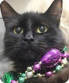 Clayton, NJ - Domestic Longhair. Meet SADIE, a cat for adoption. http://www.adoptapet.com/pet/10948352-clayton-new-jersey-cat