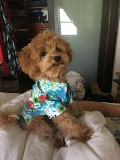 Dogs for adoption Cute Dogs Breeds, Dog Breeds, Maltese Poodle Mix, Puppy Palace, Maltipoo, Cuddles, Dog Days, Doggies, Fur Babies
