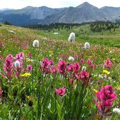 Wildflowers color a field near Cottonwood Pass in Chaffee County Colo. Today's top reader photo was submitted by William Helms via @yourtake. #Colorado #nature #flowers #topphoto #yourtake by usatoday