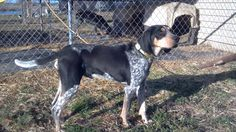 Pretty Blue tick Hound-- like Cabela :) Blue Tick Beagle, Bluetick Coonhound, Large Dog Breeds, Ticks, Mans Best Friend, Country Girls, Best Dogs, Fur Babies, Boston Terrier