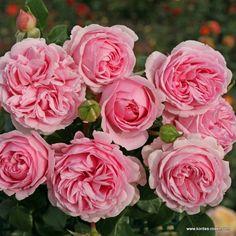 dark desire 39 gr fin diana 39 rose photo rosen pinterest. Black Bedroom Furniture Sets. Home Design Ideas