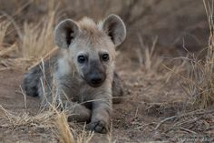 Who said hyenas are ugly?! How adorable is this pup!
