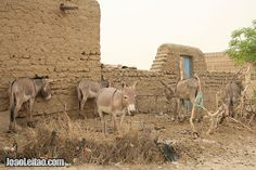 Donkeys parked in the outskirts of Timbuktu