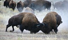 bison fighting | flat,800x800,070,f.jpg