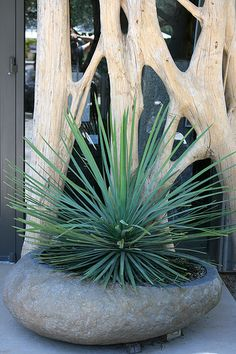 Mexican Grass Tree Dasylirion longissimum An excellent specimen plant.olive-green grass like leaves flow from the center of this perfect specimen for xeriscapes. Old foliage can be removed to reveal an attractive single trunk. Synonym: Toothless Desert Spoon Cactus/Succulent Garden style: Contemporary Deciduous/evergreen: Evergreen Cold hardiness zones: 8 - 11 Light needs: Full sun Water Needs: Once established, needs only occasional watering. Slow to 6'