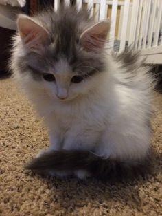 Our new Siberian Forest Cat named Elsa