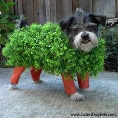 Chia Dog