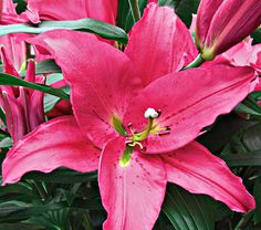 """Lilum Giovanni: Common Name:Oriental Lily  HardinessZone:  5-8S / 5-9W  Height:3-4'  Fragrance:Yes  Exposure:Full or Part Sun  Blooms In:July-Aug  Spacing:12"""" Deer Resistant"""