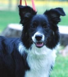 Border Collie, every open space needs a Border Collie