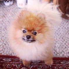 Wolfgang the Pomeranian