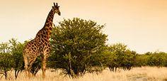 Giraffe in the Nambiti game reserve in KZN