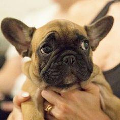 Taco Bear, the Funny French Bulldog Puppy❤️ @itstacobear