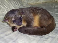 Also known as the honey bear, the kinkajou is in the same family as raccoons, coatis, and ringtail cats. These are often mistaken for monkeys, due to their long curly tail which is used to help them climb. The large eyes help this nocturnal animal see well in the dark. Most of the time, kinkajous are very docile and playful, but they can become aggressive at times, especially if they are woken during the day.