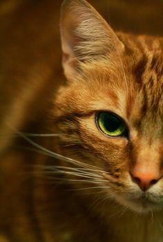 Love orange cats!   via 500px / Untitled by Angélique Riccardi-Hubster)