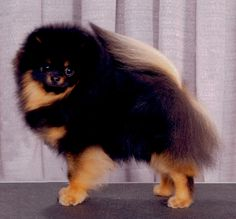 1000 Images About Pomeranians Amp Shi Tzus On Pinterest
