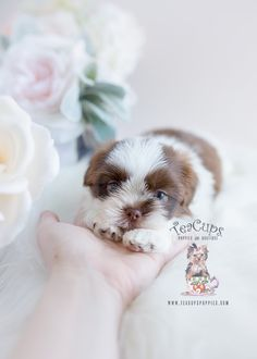 Shih Tzu puppy by TeaCup Puppies