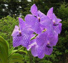 Orchids - Costa Rica http://monteverdeorchidgarden.net/  Monte verde