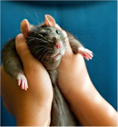 This is a Dumbo Rat - You can tell because they have the rounded ears.They are very smart and loveable. her name was Bear because she looked like a little mini bear. Animals And Pets, Baby Animals, Funny Animals, Cute Animals, Strange Animals, Hamsters, Rodents, Animal Pictures, Cute Pictures