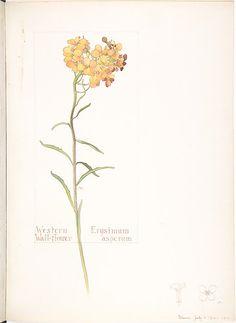 Western Wallflower (Erysimum asperum) 1912. Watercolour and...