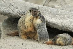 Waiting for Her Turn by Alan Vernon: ust outside their den, this mother marmot allowed her young pup a short moment of affection. Shortly before this she had nursed this pup for a short while. #Marmot #Alan_Vernon