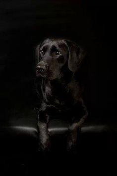 Labrador negro.