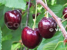 KARINA Fruit Trees, Cherry, Food, Essen, Meals, Prunus, Yemek, Eten