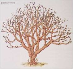 Rejuvinating a Neglected Apple Tree - First thin undesirable interior branches that are diseased, broken, growing upward or downward from the scaffolds (main branches), or branches that cross or crowd other branches. To reduce tree height cut upward growing branches off at an outward growing branch that ios nearly the same diameter and about the height that is desired for the tree. On severley overgrown trees that are much taller than desired, make no more than 3 or 4 of these cuts each year…