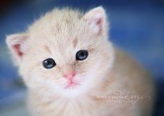 Mr. Blue Eyes :3. #Kitten #Kawaii