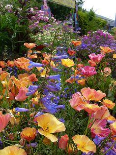 (color scheme)Cal Poppy 'Apricot Chiffon' & Penstemon heterophyllus at Annie's Annuals.
